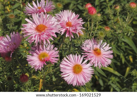 Blooming Asters in a Garden - stock photo