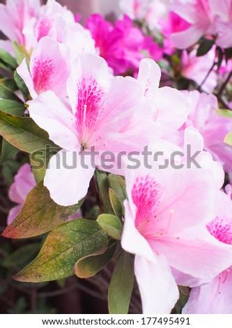Blooming azalea - stock photo