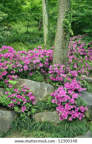 Blooming Azalea (Rhododendron) at traditional Chinese garden, Suzhou, China