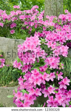 Blooming Azalea (Rhododendron) at traditional Chinese garden, Suzhou, China - stock photo