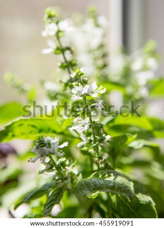Blooming basil on a windowsill. Selective focus .Everyone can easily grow basil himself at home and one would have fresh basil anytime. - stock photo