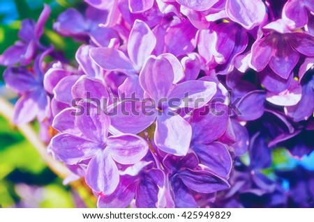 Blooming beautiful bright pink lilac flowers under sunlight. Selective focus at the central flowers, soft focus processing - stock photo