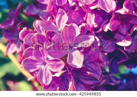 Blooming beautiful bright pink lilac flowers under sunlight. Selective focus at the central flowers, soft focus and vintage filter processing - stock photo