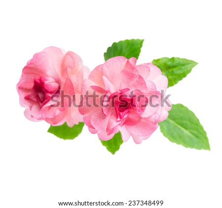 blooming beautiful pink Impatiens flowers is isolated on white background - stock photo
