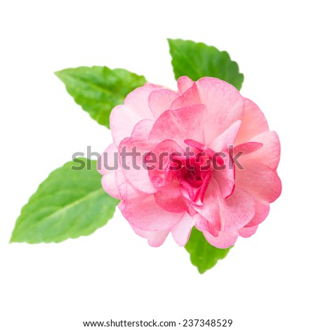 blooming beautiful pink Impatiens flowers is isolated on white background, closeup - stock photo