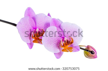 blooming beautiful twig of lilac spotted orchid, phalaenopsis is isolated on white background, closeup - stock photo