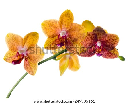 Blooming  beautiful twig of orange spotted orchid, phalaenopsis is isolated on white background  - stock photo