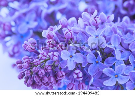 blooming biautiful lilac flowers close up. macro - stock photo