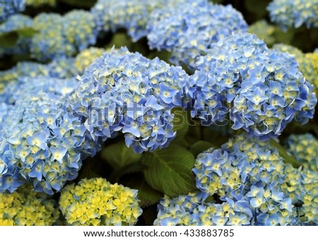 Blooming Blue Hydrangea Bush