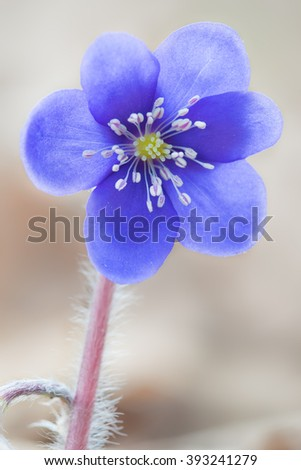Blooming blue liverwort flower in the spring forest. Macro  photo. - stock photo