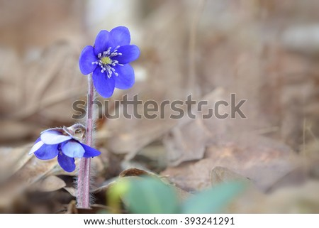 Blooming blue liverworts n the spring forest. closeup  photo. - stock photo