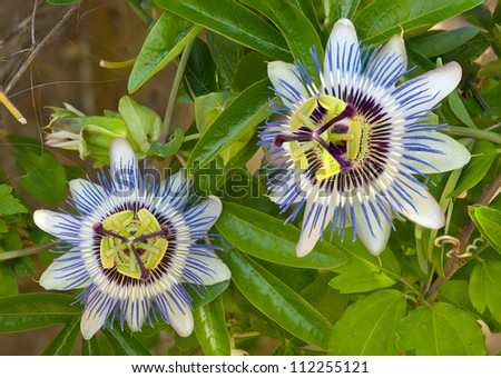 Blooming blue Passion Flower - stock photo