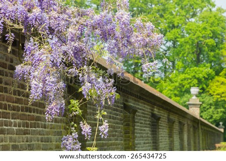 Blooming blue wisteria plant hanging over long brick wall. The wall is a fence for the castle behind it. Beautiful flowers in spring season, before the green leaves are growing. - stock photo