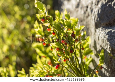 Blooming blueberry in the forest in May. Bright Sunlight goes through leaves of bushes with red unripe blueberry in early spring. Wild Young bilberry in blooming next to stone. Filled frame picture. - stock photo