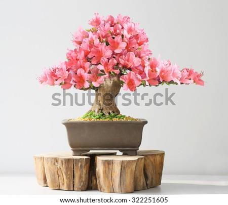 blooming bonsai azalea in spring season on exhibition - stock photo