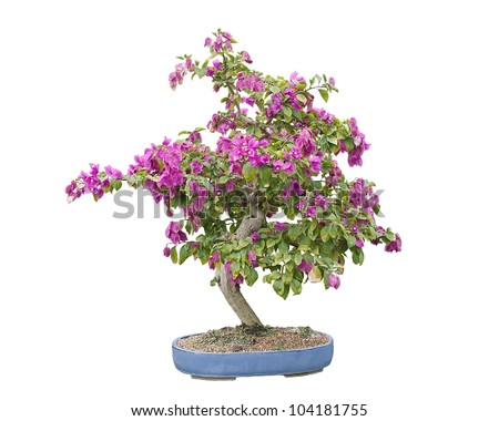 Blooming Bougainvillea Bonsai Tree, isolated on white and in a blue Chinese pot - stock photo