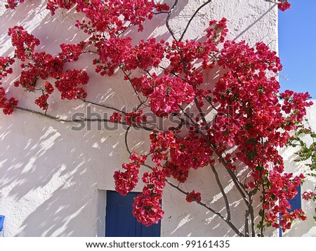 Blooming bougainvillea  framing the window in a Greek island - stock photo