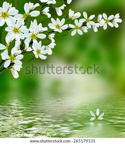 blooming branch of bird cherry - stock photo