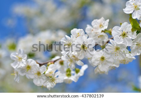 Blooming branch of cherry tree in the spring - stock photo