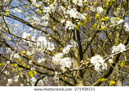 Blooming branch of  fruit tree flowers growing wild in the forest, seasonal floral nature background - stock photo
