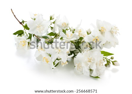 Blooming branch of jasmine isolated on white background. - stock photo