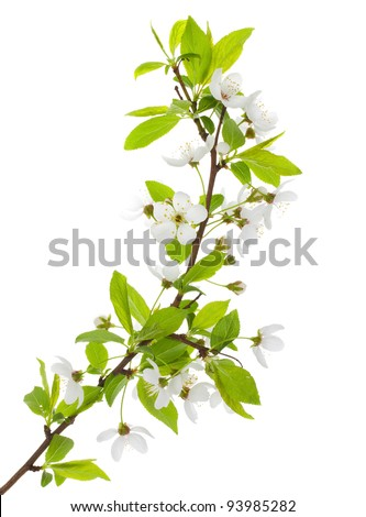 blooming branch of plum tree - stock photo
