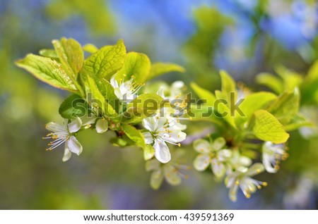 Blooming branch of plum tree in the spring - stock photo