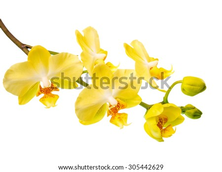 Blooming branch of yellow orchid is isolated on the white  background - stock photo