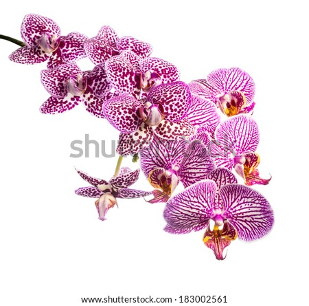 Blooming branch striped and spotted violet orchids, phalaenopsis is isolated on white background - stock photo