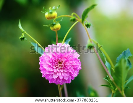 Blooming bright pink chrysanthemum flower on a blurred background of green foliage in the garden. Shallow depth of field. Selective focus. - stock photo