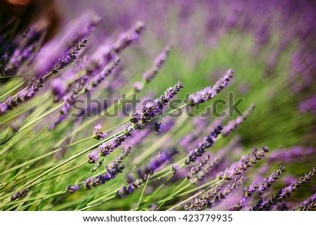 Blooming Bright Purple Lavender Flowers in Provence, France. Summer season. Close up. - stock photo