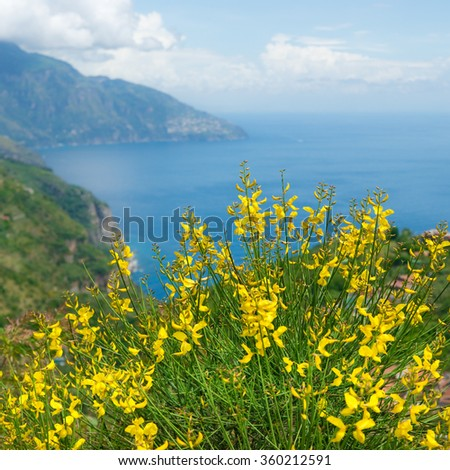 Blooming broom at Amalfi coast in springtime, Italy. - stock photo