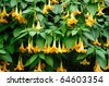 blooming brugmansia (angles' trumpets) in butchart gardens in fall, victoria, british columbia, canada - stock photo