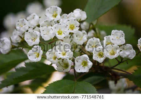 Blooming bunch of hawthorn with white flowers closeup