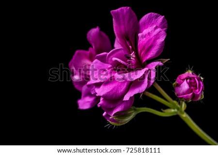 stock-photo-blooming-bunch-of-pink-geran