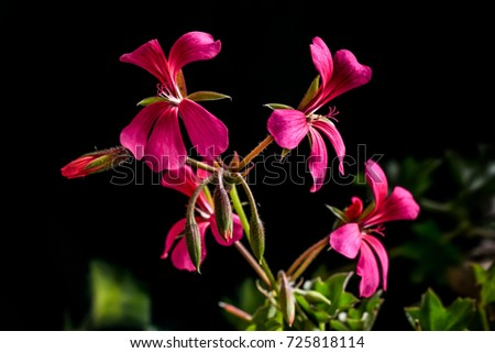 stock-photo-blooming-bunch-of-red-gerani