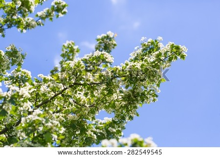 Blooming bush of hawthorn. Beautiful white springtime blooming tree - stock photo
