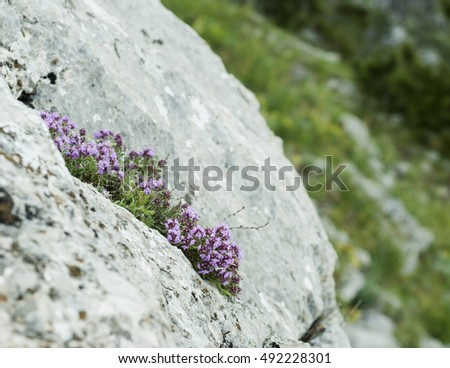 Blooming bush of thyme on  grey stone