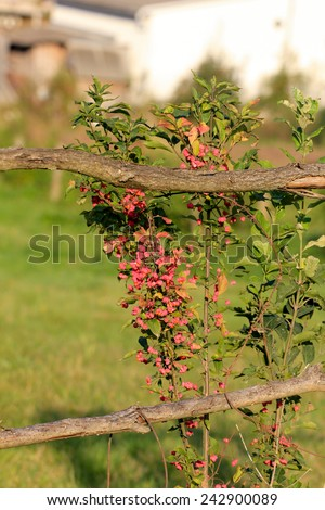 Blooming bush on a wooden fence - stock photo