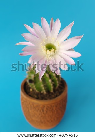blooming cactus echinopsis hybrid in pot on blue - stock photo