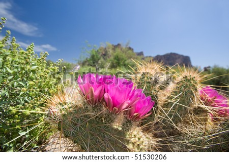 Blooming cactus flowers in an Arizoina desert. - stock photo