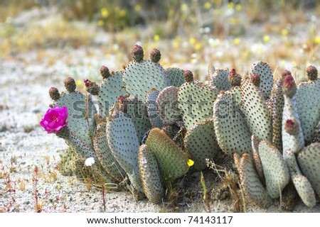 Blooming Cactus in Anza Borrego Desert, California (Opuntia basilaris, the Beavertail Cactus ) - stock photo