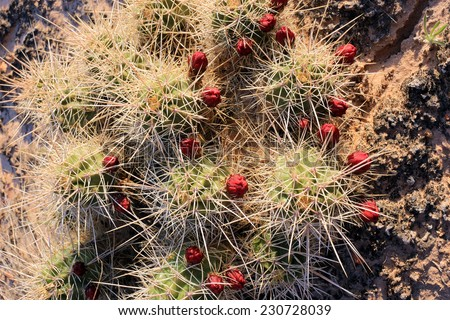 Blooming cactus in the Utah desert, USA. - stock photo