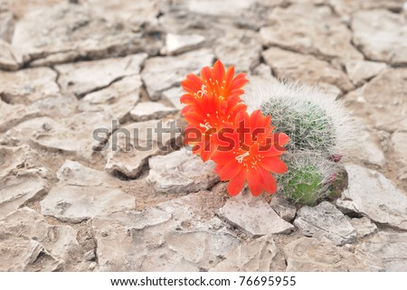 Blooming cactus. Kuktus on dried cracked earth. Desert flower. Desert plants. Scarlet red flowers. Prickly plant. Drought. - stock photo