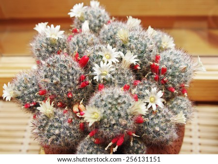 Blooming cactus Mammillaria in pot on window sill  - stock photo