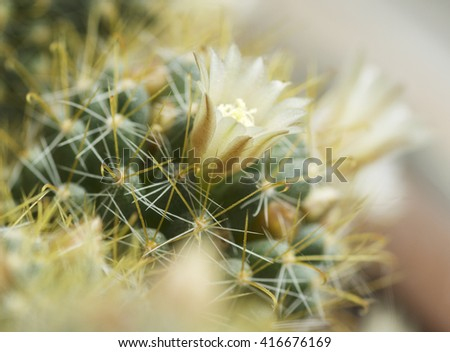 blooming cactus mammilyariya proliferation of white background macro  - stock photo
