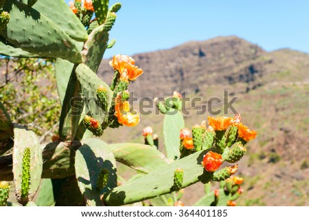 Blooming Cactus  Prickly Pear at masca canyon (Canary islands,Tenerife, Spain). Multicolored summertime outdoors horizontal image. - stock photo
