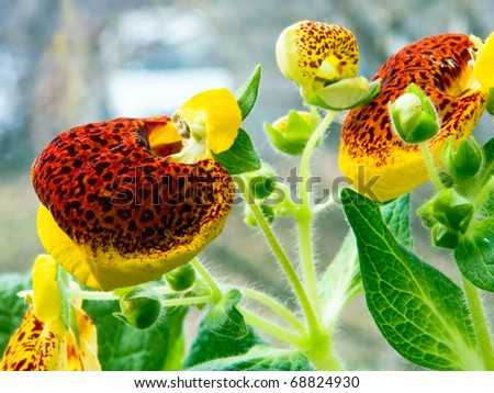 Blooming calceolaria - stock photo