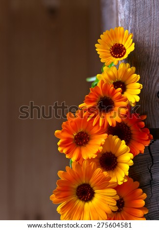 blooming calendula , a plant used in medicine and cosmetology - stock photo