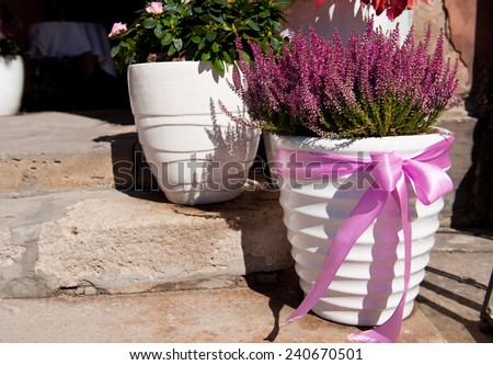 Blooming Calluna vulgaris or heather or ling plant in white big flowerpot with pink bow standing on steps, sunny autumn day, photo taken in Warsaw, Poland. - stock photo